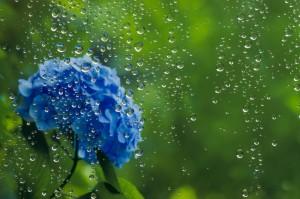 梅雨アジサイ